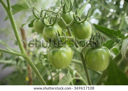 plant's small green organic tomatoes in cluster