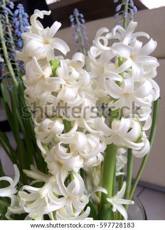 Plant spring white flower hyacinth name cheerful stock photo edit plant spring white flower hyacinthname as cheerful harbinger of spring with its bright mightylinksfo