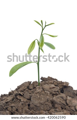 plant tree growing on a white background