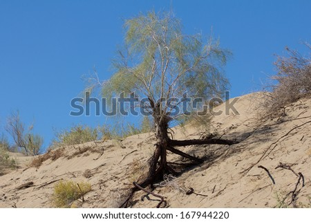 plant with the sands of the steppe on a background of blue sky