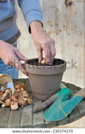 plantation by a woman narcissus bulbs in a pot - stock photo