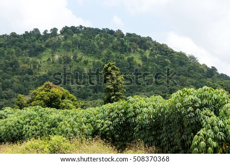 Plantation of cassava growing near the mountain with lush vegetation.