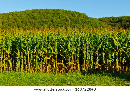 Plantation of Corn in the French Limousen - stock photo