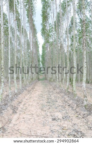 Plantation of Eucalyptus for paper industry