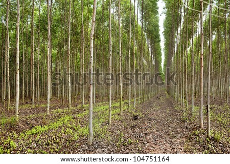 Plantation of Eucalyptus for paper industry in thailand - stock photo