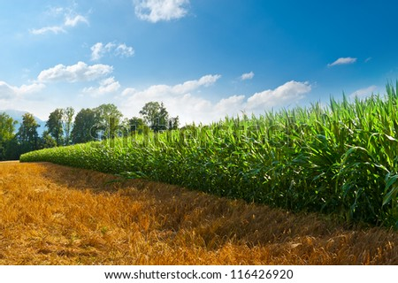 Plantation of Fodder Corn in Southern Bavaria, Germany - stock photo