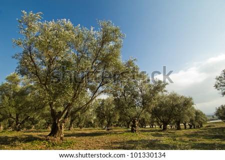 plantation of olive trees - stock photo