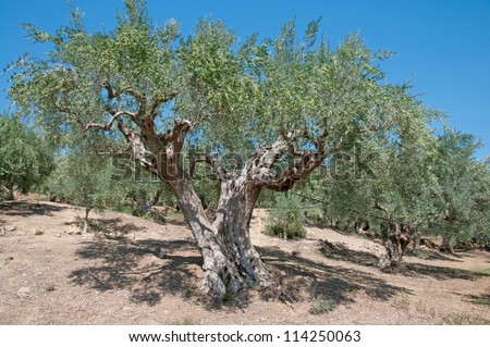 Plantation of olive trees ,Greece
