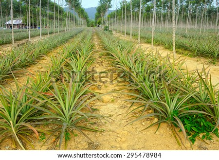 plantation of pineapples - stock photo