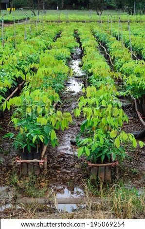 plantation of rubber tree