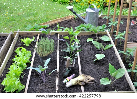 plantation of seedlings in a vegetable patch  - stock photo