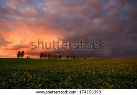 Plantation of sugar beet at the setting sun. - stock photo
