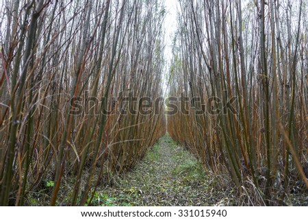 Plantation of willow (salix) plants grown for energy - stock photo