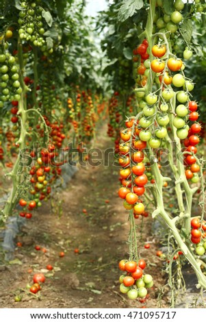 plantation ripe tomatoes