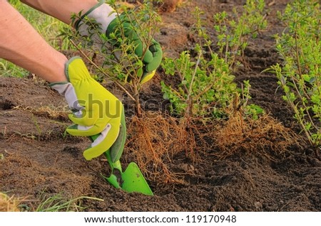 planting a hedge - stock photo