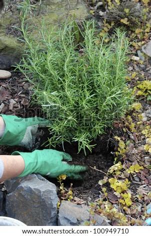 Planting a Rosemary bush _putting earth around base - stock photo