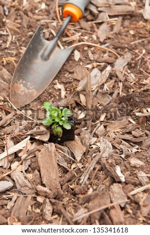 Planting a young seedling into the garden