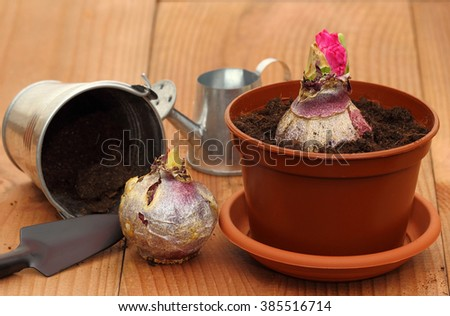 Planting bulbs  hyacinth - stock photo