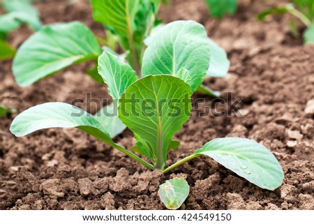 planting cabbage seedling in the vegetable garden - stock photo