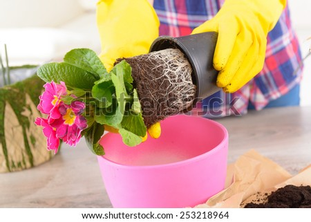 Planting colorfull flower in a flowerpot at home. Soil, woman's hands in yellow gloves, flowerpot and flowers  on the table - stock photo