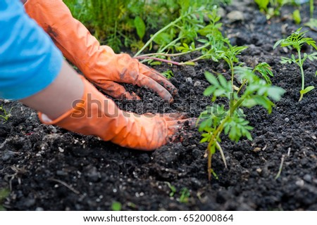Planting flowers, seedlings in the garden. The hands plant the plants in the ground