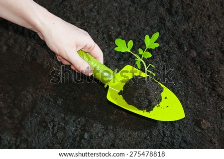 Planting Green sprouts tomato seedlings to the ground with the help of garden tools - stock photo