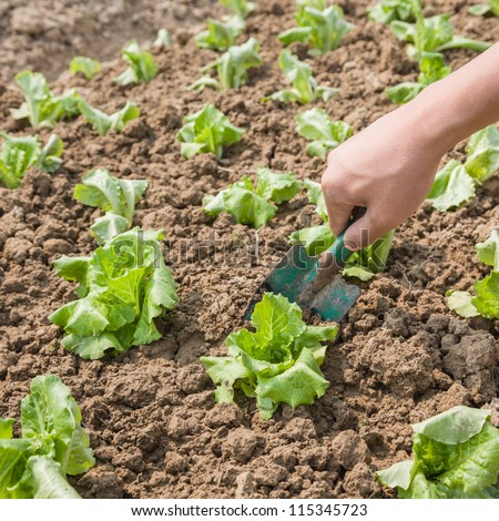 planting lettuce in the farm land