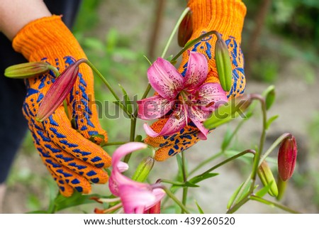 planting lily work in the garden in the summer garden, caring for flowers and plants, hands in garden gloves gardener - stock photo
