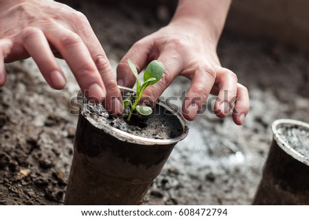 Planting of plants in the soil in spring