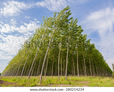 Planting of poplars for the production of cellulose - stock photo