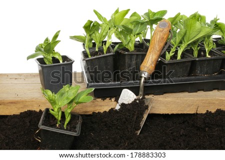 Planting out broad bean seedlings from a wooden board to the earth