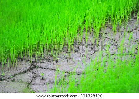 planting rice in the drought farm  - stock photo