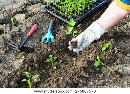 Planting seedlings of pepper in the garden