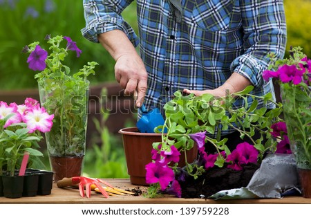 Planting surfinia flowers, gardening concept - stock photo