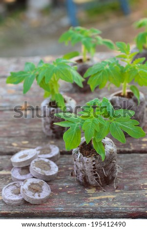 Planting tomato seedlings in peat pellets on wooden background - stock photo