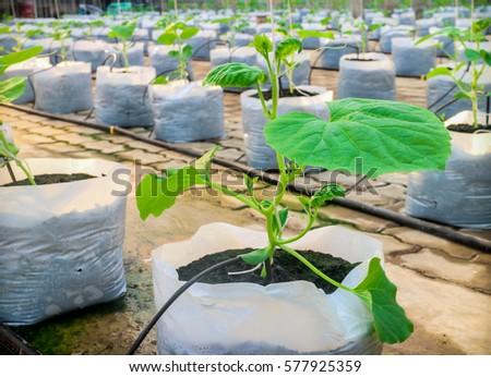 Planting Vegetable Garden Green Vegetable Rows Stock Photo (Safe to ...