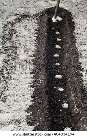 planting vegetables in garden - hoe and seed potatoes in furrow in vegetable garden - stock photo