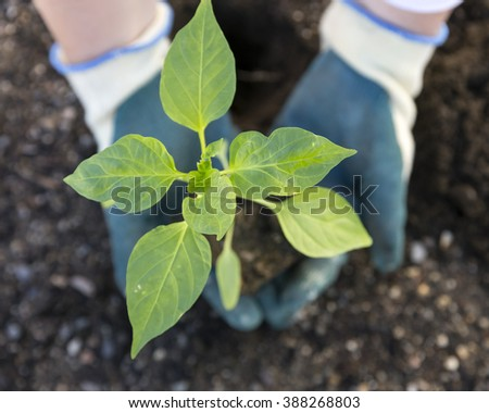 Planting vegetables in garden soil
