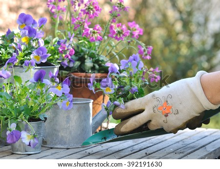 planting violas in decorative pots on a garden table - stock photo