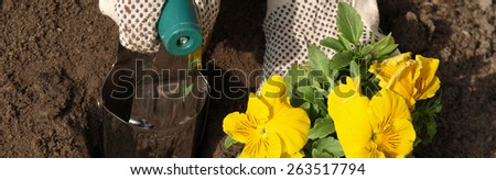 Planting yellow pansy flower in garden, panorama - stock photo