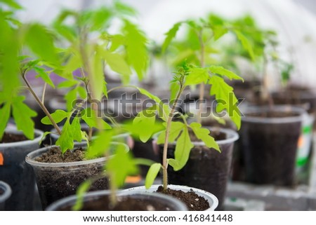 planting young tomato seedlings in the pots. Tomato seedling before planting into the soil, greenhouse plants, seedlings in the greenhouse, selective focus, blur - stock photo