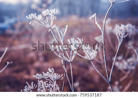 Plants in a winter field covered with frost
