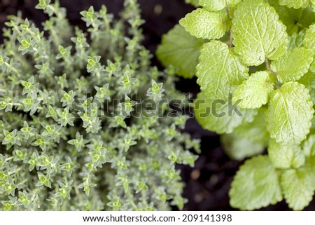 Plants of fresh thymes and melissa from above. - stock photo