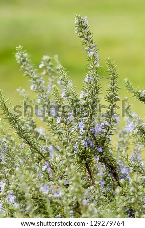 Plants of Rosemary with blue flowers in Spring - stock photo