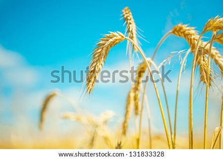 plants of wheat - stock photo