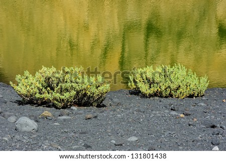 plants on the coast of Green Lagoon in volcanic landscape, El Golfo, Lanzarote, Canary Islands, Spain - stock photo