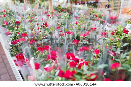 plants, sale, farming and botany concept - close up of rose flower seedlings in gardening shop - stock photo