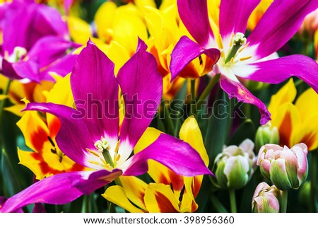 plants tulips flower blooming. shallow depth of field. Soft focus - stock photo