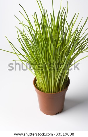 Plastic flowerpot with Chives