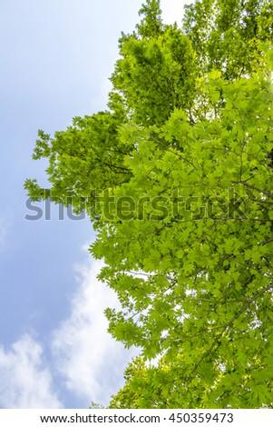 platanus orientalis oriental plane chinar tree stock photo royalty rh shutterstock com Chinar Restaurant Chinar Car